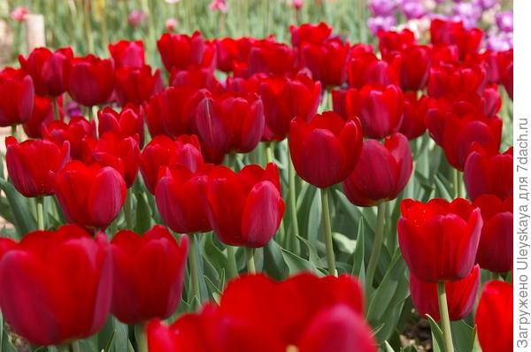 Тюльпаны сорт Renegade