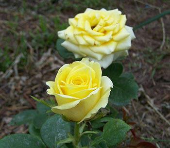Роза сорт Mabella, фото сайта vinograd-sad-post.nethouse.ru