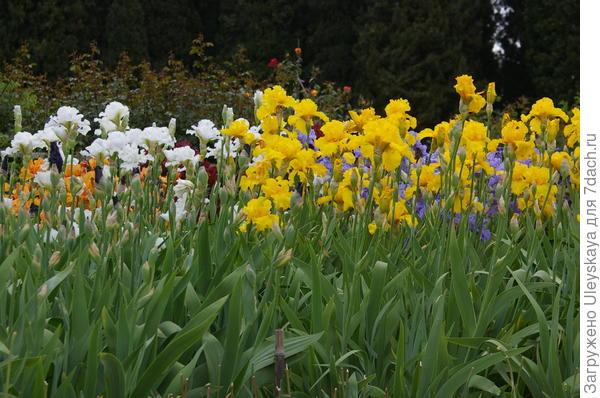 Роскошь цветения ирисов