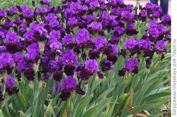 Фиолетовые ирисы