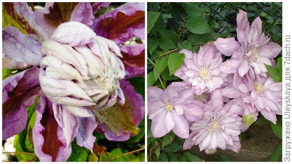 Слева цветок сорта Proteus в моем объективе, справа массовое цветение фото сайта forums.gardenweb.com