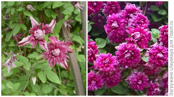 Слева цветки сорта Purpurea Plena Elegans в моем объективе, справа массовое цветение, фото сайта floweryvale.ru