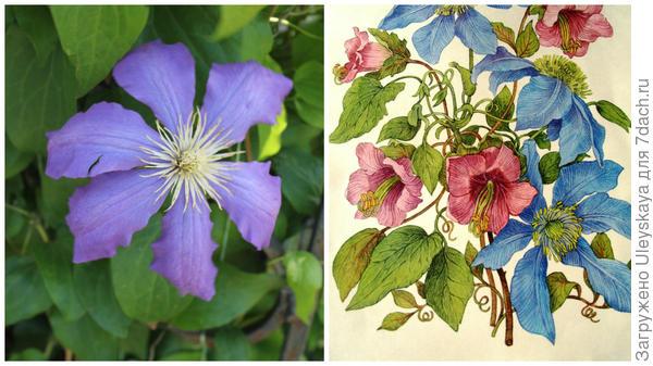 Слева цветок сорта Алеша в моем объективе, справа клематис с кобеей в старинном немецком календаре