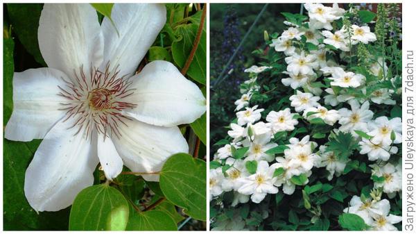 Слева цветок сорта Madame Le Coulrtee в моем объективе, справа массовое цветение, фото сайта www.praskac.at