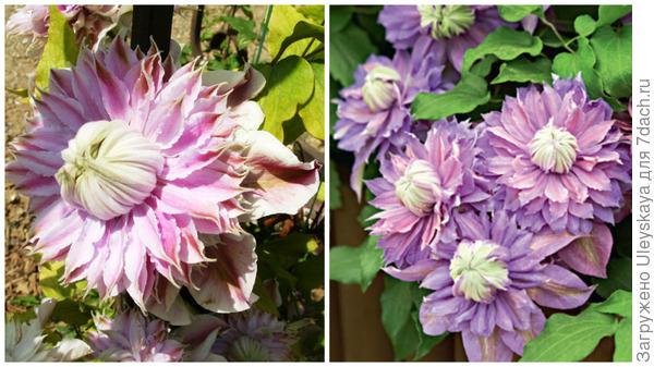 Слева цветок сорта Josephine в моем объективе, справа массовое цветение, фото сайта www.supersadovnik.ru