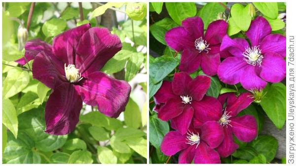 Слева цветок сорта Monte Cassino в моем объективе, справа массовое цветение, фото сайта patioflower.ru