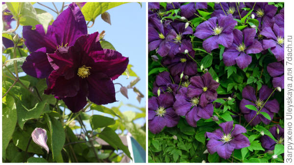 Слева цветок сорта Viola в моем объективе, справа массовое цветение, фото сайта greenlab-shop.ru