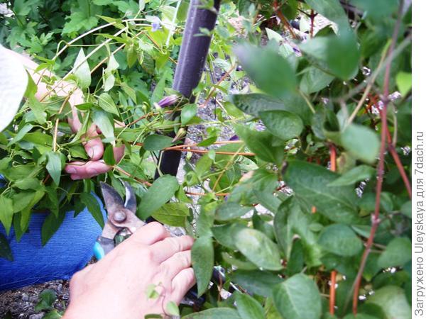 Размножение клематисов летом - зеленое черенкование