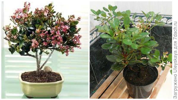 Рафиолепис в бонсай, фото сайта ourflo.ru, справа рафиолепис в комнатной культуре, фото сайта www.farpost.ru