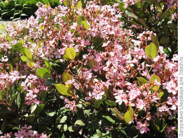 Рафиолепис индийский Springtime, фото сайта commons.wikimedia.org