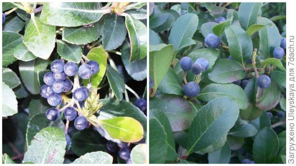 Слева плоды рафиолеписа индийского, фото сайта all-begonias-tamaravn.blogspot.com, справа плоды рафиолеписа зонтичного, фото сайта trava-y-doma.livejournal.com