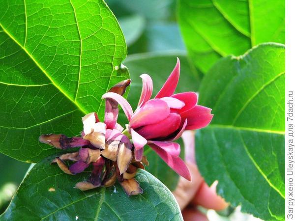 Цветет каликант западный