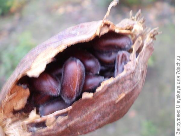 Каликант цветущий, плод, фото сайта commons.wikimedia.org