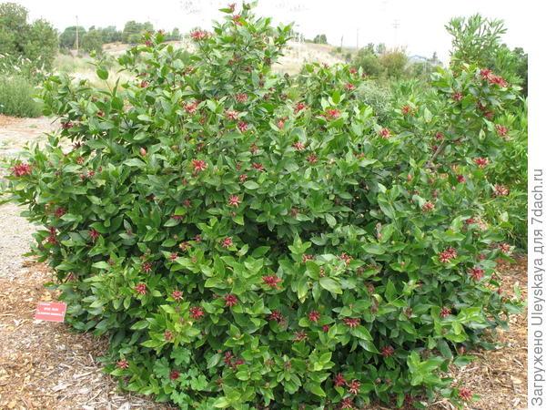 Каликант западный, общий вид, фото сайта www.watershednursery.com