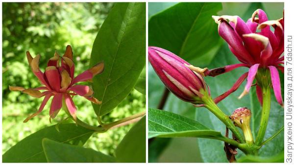 В махровости цветка каликантов участвуют чашелистики, справа фото сайтаoriginal-garden.ru