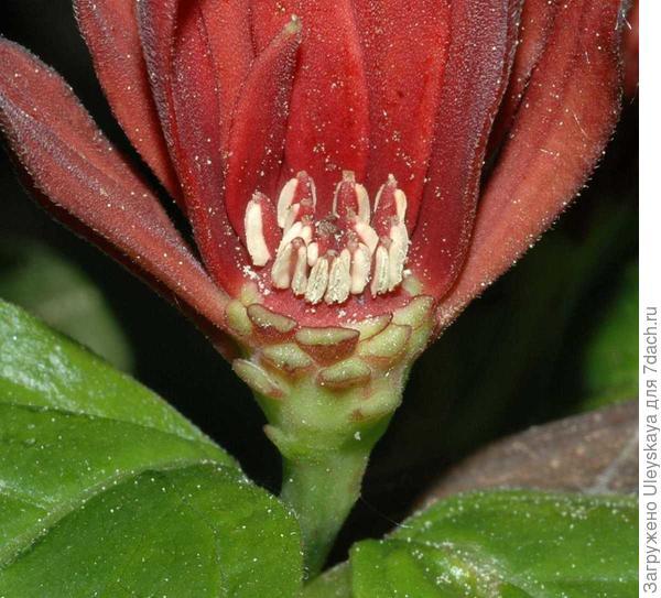 Разрез цветка каликанта цветущего, фото сайта tcf.bh.cornell.edu