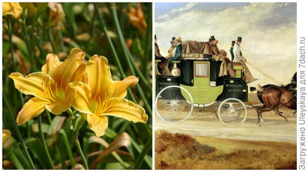 Слева цветок сорта Stagecoach, справа старинный дилижанс, фото сайта vk.com