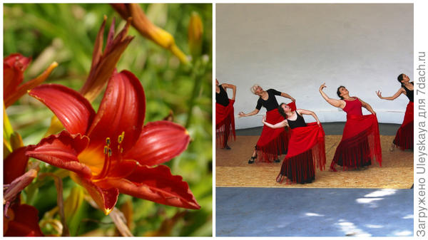 Цветки сорта Ритмы Фламенко и репетиция танца – все в моем объективе