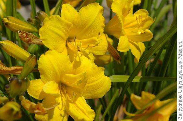 Лилейник гибридный сорт Yellow Bouquet