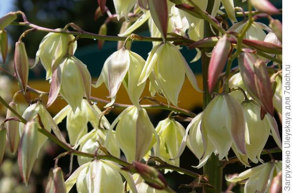 Цветет юкка алоэлистная