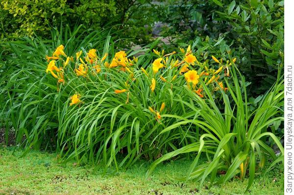 Цветет лилейник гибридный в июле