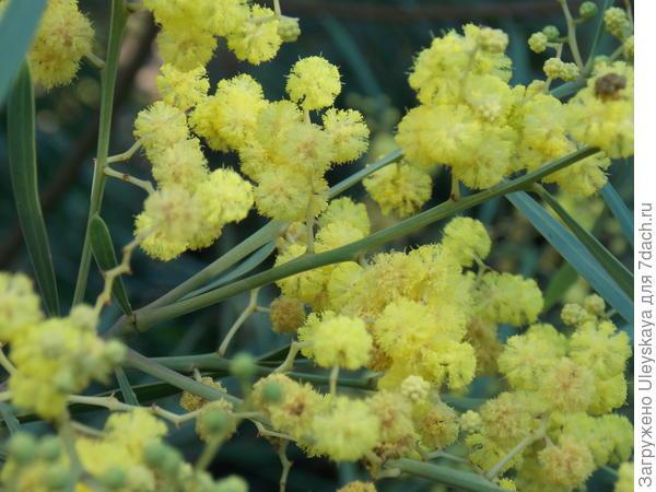 Цветет одна из трех акаций, которые часто называют мимозами