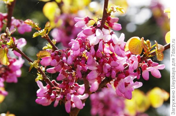 Цветки и молодые бронзовые листья церциса стручконосного