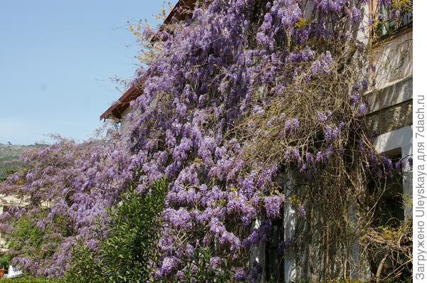 Пышное цветение королевы лиан - глицинии китайской