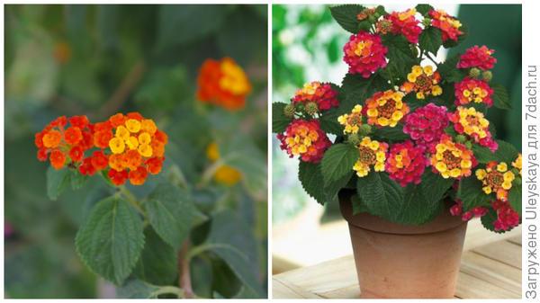 Лантана в моем объективе и лантана в горшечной культуре, фото сайта www.liveinternet.ru