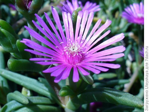 Цветок делоспермы, фото сайта en.wikipedia.org
