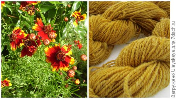 Кореопсис красильный в моем объективе, пряжа, покрашенная кореопсисом, фото сайта www.pinterest.com