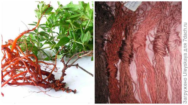Марена красильная, фото сайта oblepiha.com, окраска шелковых нитей мареной красильной, фото сайта ksenia-aydit.livejournal.com