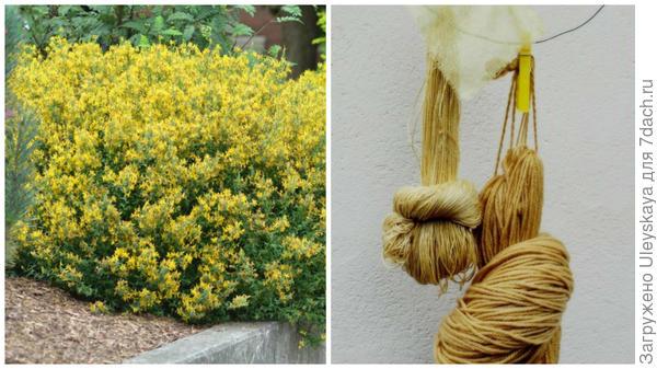 Дрок кровожадный, или красильный, фото сайта, www.canadaplants.ca окрашивание пряжи дроком красильным, фото сайта marylenelynx.wordpress.com