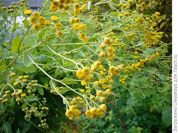 Канупер (кануфер) бальзамический, фото сайта www.plantarium.ru