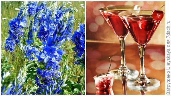 Вероника лекарственная, фото сайта www.travmed.ru, ароматизация ликера, фото сайта hobby-mix.net