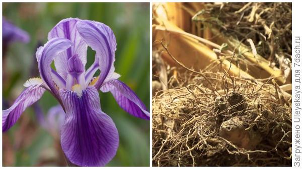 Ирис германский фото сайта www.growplants.org, фиалковый корень, фото сайта www.youtube.com