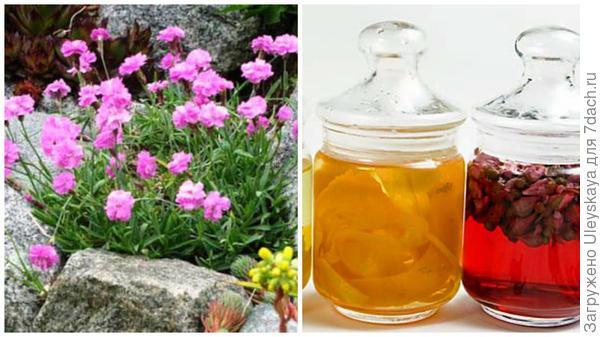 Гвоздика садовая, фото сайта dizaynland.ru, ароматный уксус можно сделать и с цветками гвоздики, фото сайта igreen.ucoz.ru