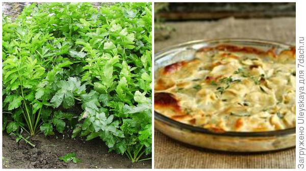 Пастернак посевной культурный, фото сайта www.tsvetnik.info; тушеное мясо с пастернаком, фото сайта neprostoguru.ru