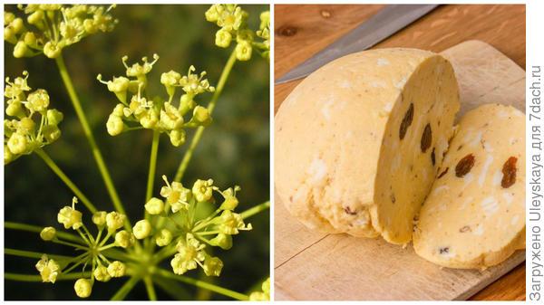 Горичник русский, фото сайта www.plantarium.ru; домашний желтый сыр, фото сайта chambacu.org