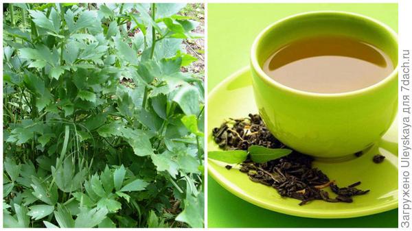 Любисток лекарственный, чай с любистка, фото сайта nebolet.com