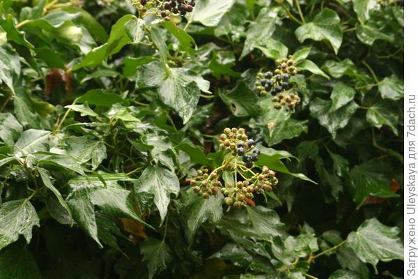 Плющ обыкновенный сорт Green Ripple в плодоношении