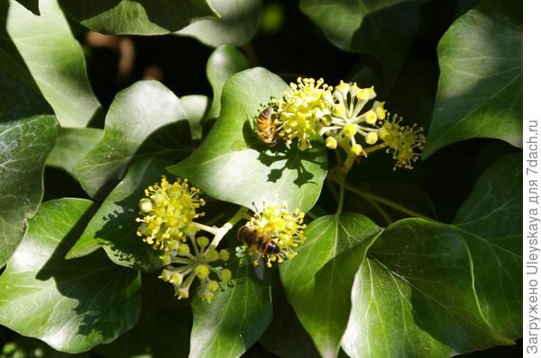 Цветет плющ обыкновенный на Южном берегу Крыма