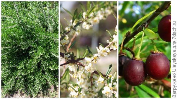 Принсепия одноцветковая, общий вид, фото сайта en.wikipedia.org; цветущая ветвь, фото сайта www.asianflora.com; плоды, фото сайта www.ebay.co.uk