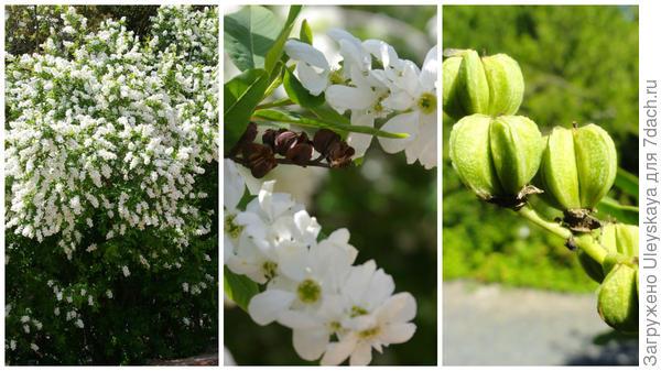 Экзохорода Королькова, общий вид в моем объективе, цветки; плоды, фото сайта commons.wikimedia.or
