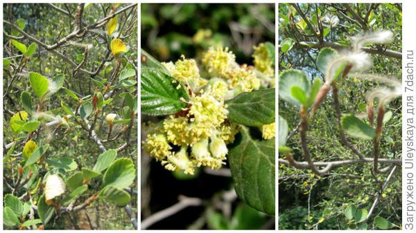 Хвостоплодник березолистный, общий вид в моем объективе; цветущая ветвь, фото сайта calscape.org; в плодоношении