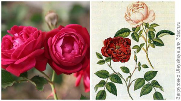 Rosa Slaters Crimson China, фото сайта pinterest.com; китайские розы, фото сайта en.wikipedia.org