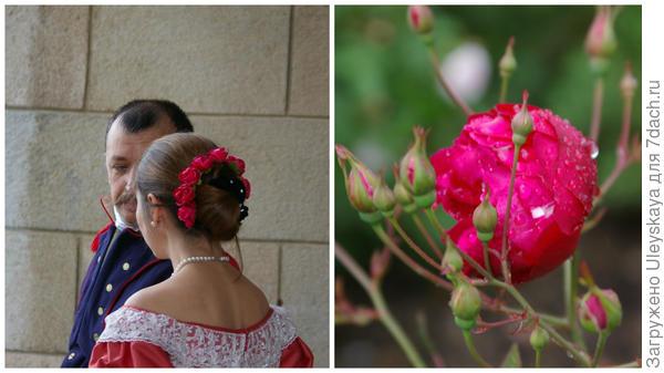 Участники исторического танца на балу Розовый вальс и старинная роза Rosa bengaliensis