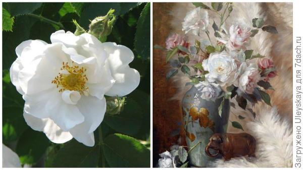 Роза сорт Alba Semiplena, фото сайта rosarium.su, старинные белые розы в букете, фото сайта poster74.ru