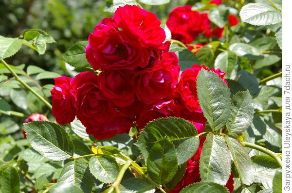 Роза сорт Flammentanz