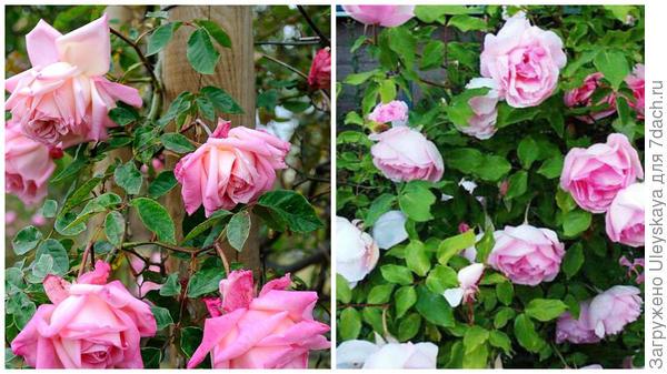 Чайная роза сорт Maman Cochet, фото сайта rosomanes.blogspot.com, чайная роза сорт Duchesse de Brabant, фото сайта aggie-horticulture.tamu.edu